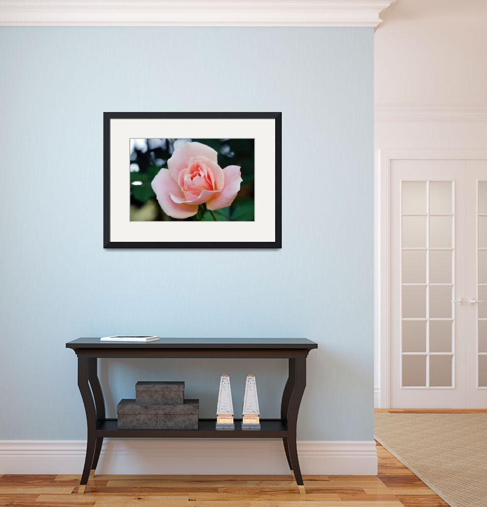 """""""Light Pink Rose&quot  (2010) by feagans_photography"""