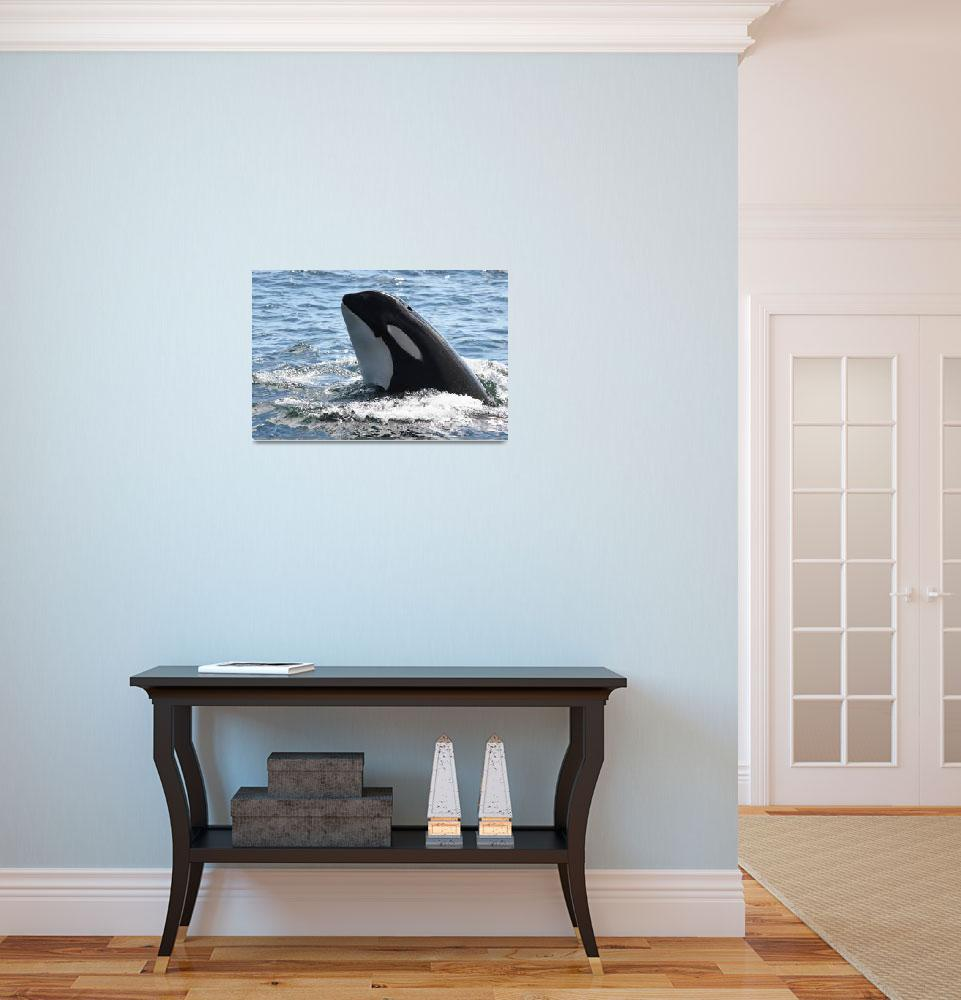 """""""Orca Whale Spyhop&quot  (2007) by sandybuckley"""