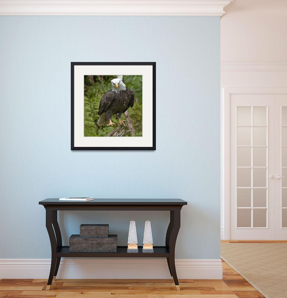 """""""Bald Eagle at Anan Creek&quot  (2008) by SederquistPhotography"""