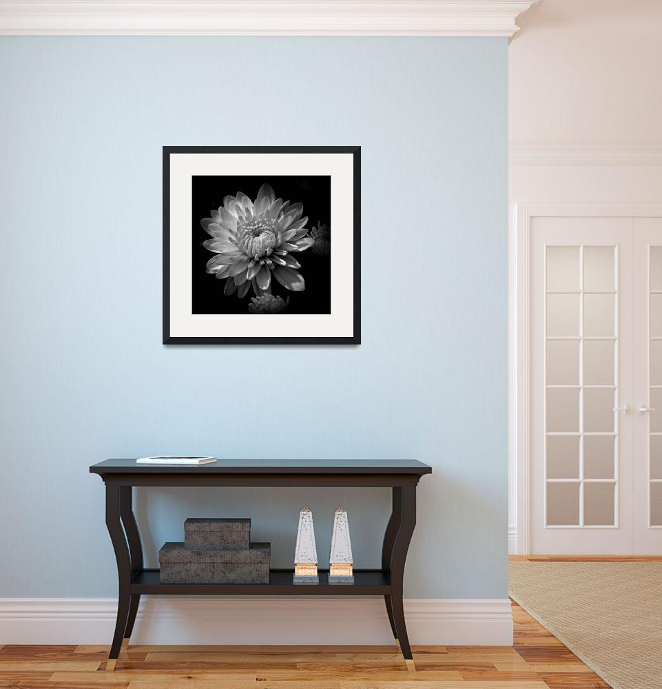 """""""Chrysanthemum In Black and White&quot  (2012) by bavosiphotoart"""