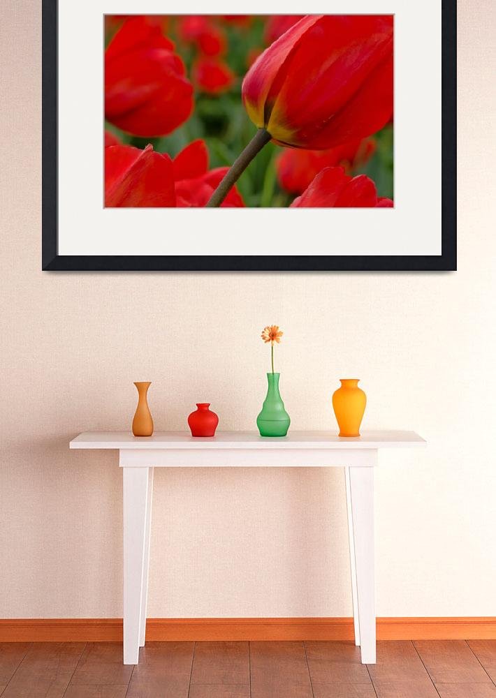 """""""Bright Red Tulips""""  (2014) by boppintheblues"""
