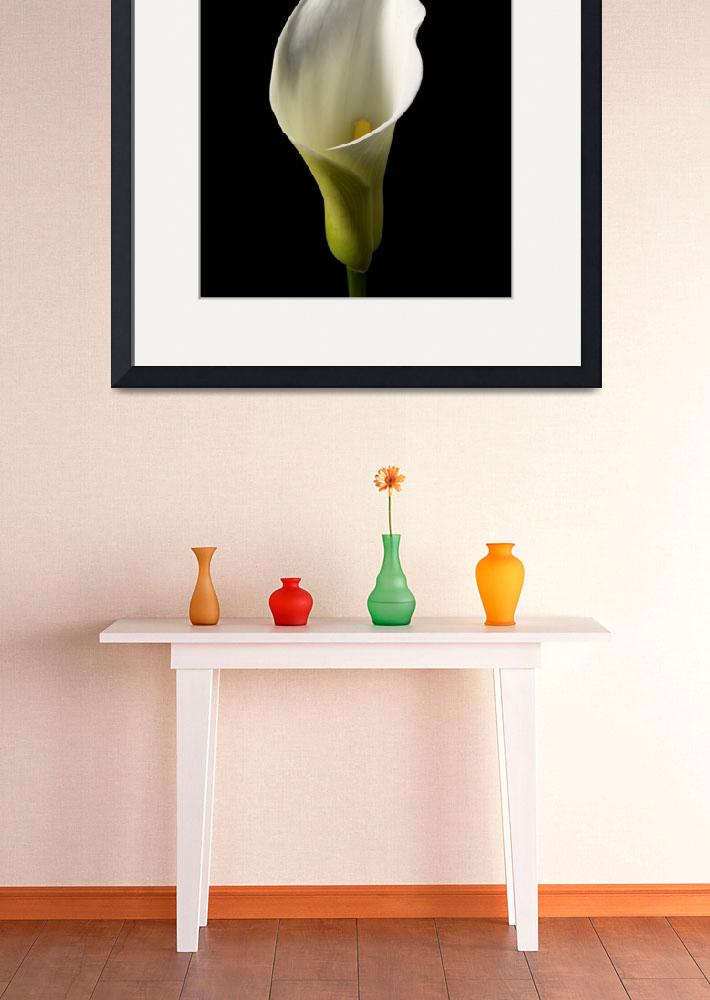 """""""Arum Lily&quot  (2010) by roger"""