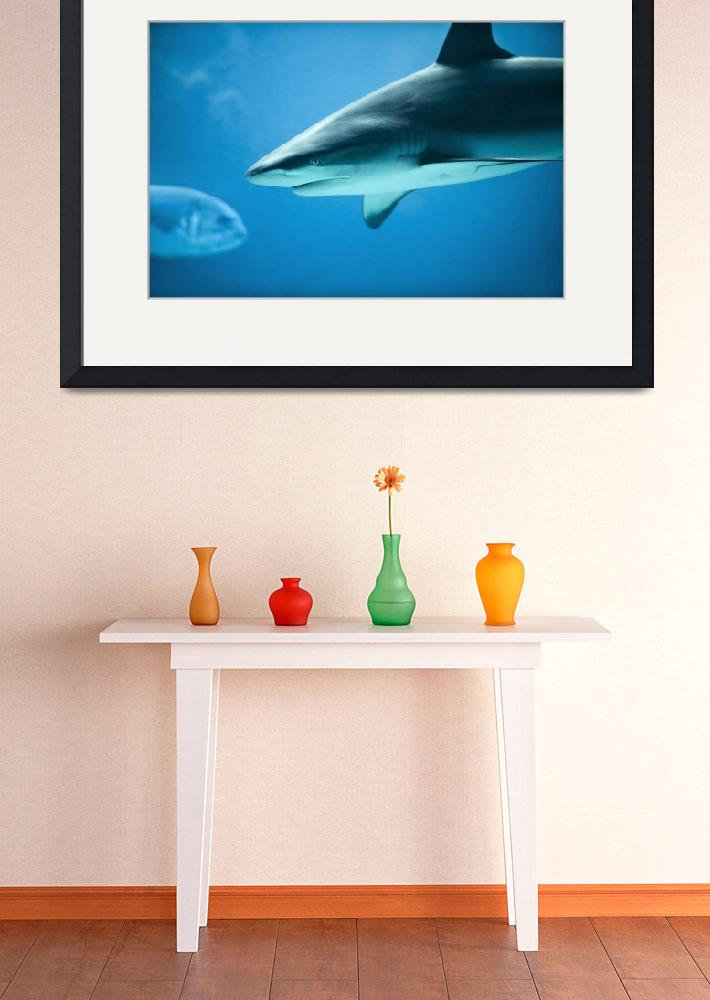 """Caribbean Reef Shark - Marine Life Photography&quot  (2011) by DAPhoto"
