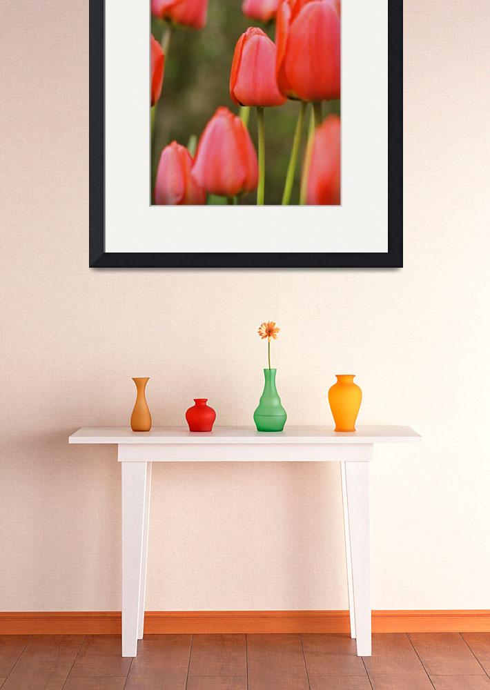 """""""Red Tulips&quot  (2008) by nicolaus"""