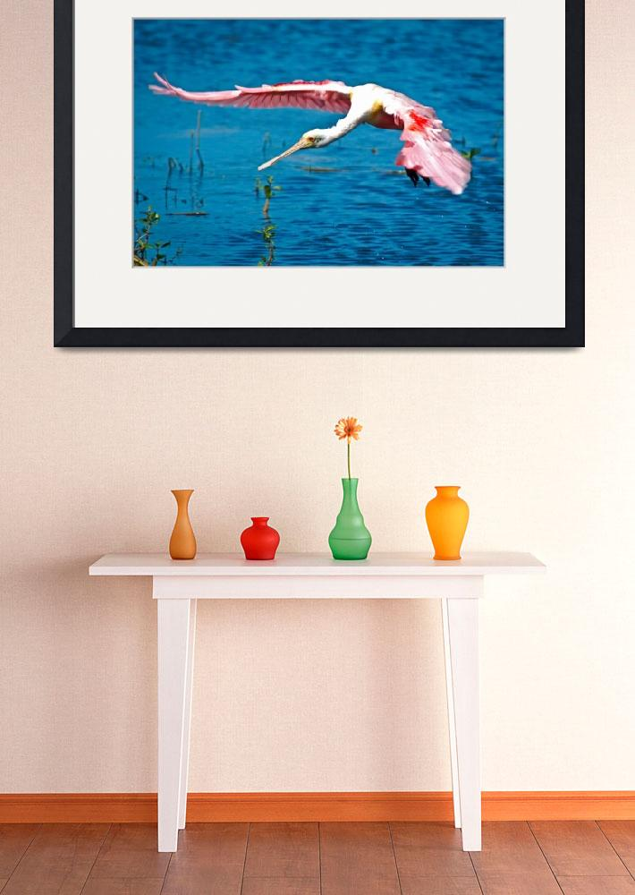 """""""Roseate Spoonbill Flying&quot  (2009) by WonderfulPhotography"""