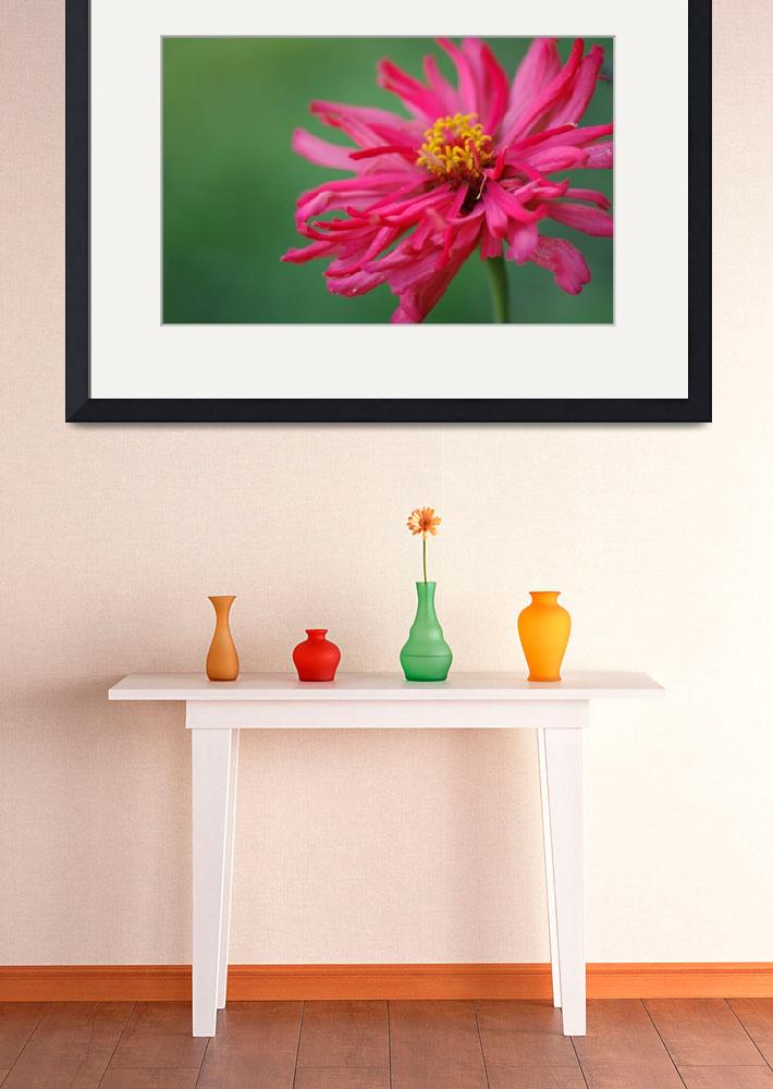 """""""Pink Spider Zinnia""""  by Kimra"""