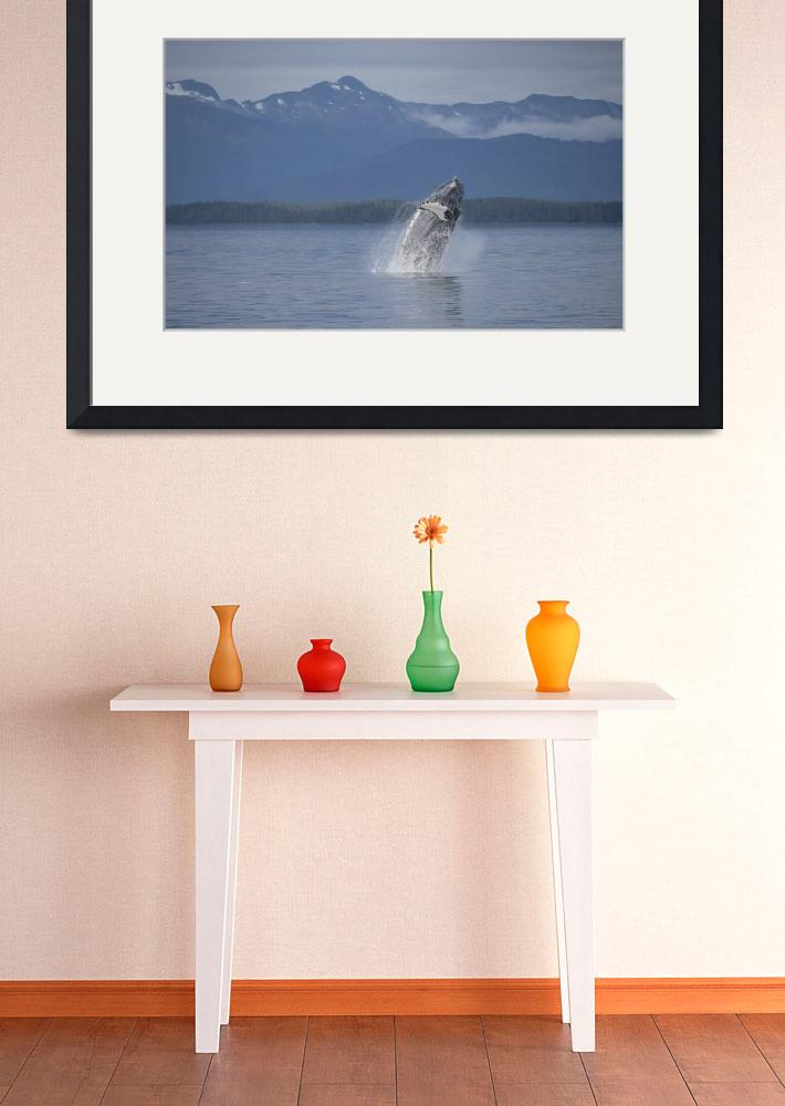 """""""Breaching Humpback Whale&quot  (2015) by SederquistPhotography"""
