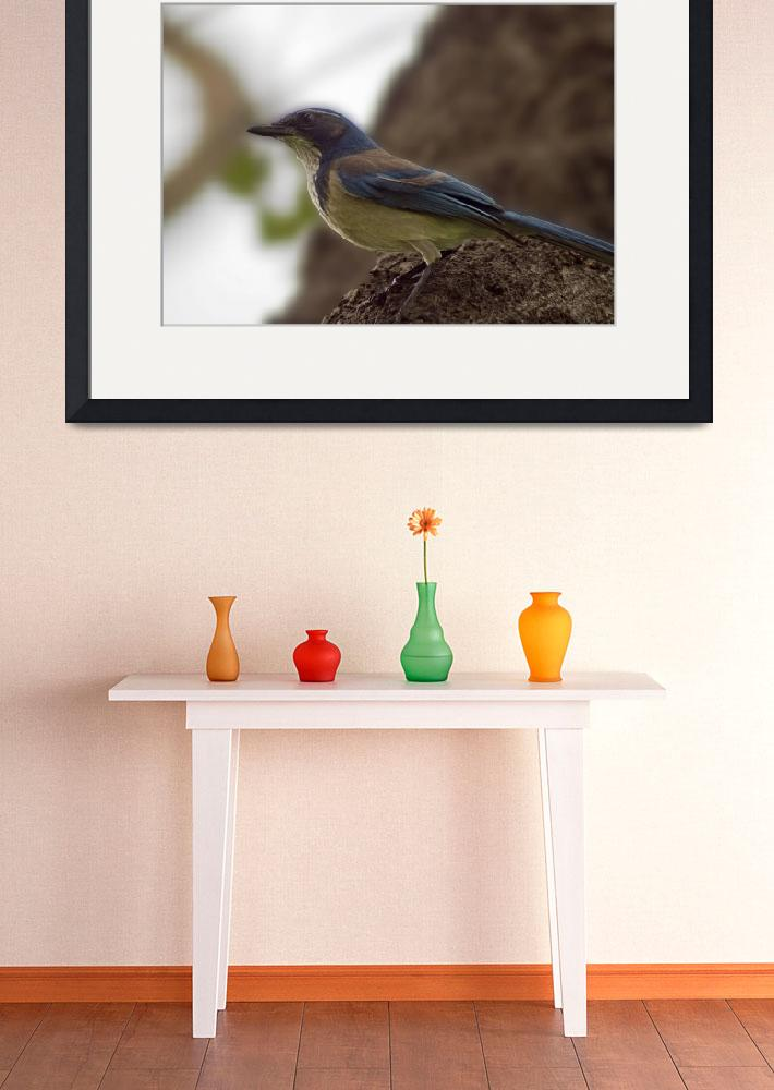 """""""Western Scrub Jay&quot  (2009) by jrphotos"""