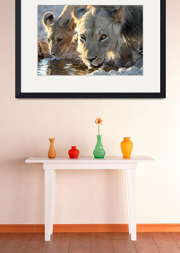 """""""Lions Drinking&quot  (2010) by WildlifeSA"""