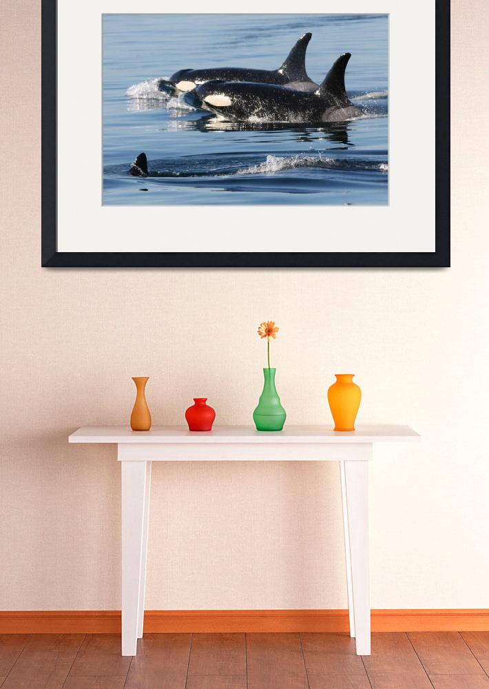 """""""Killer Whales Orca Whales J pod&quot  (2007) by sandybuckley"""