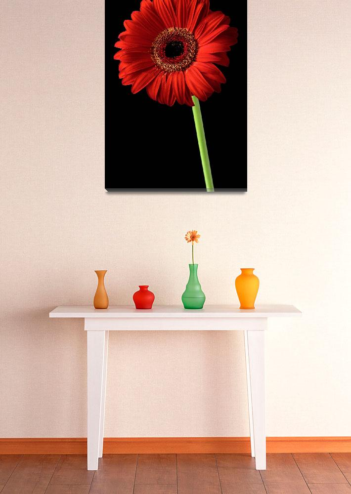 """Red gerber daisy flower on black background&quot  by Morganhowarth"