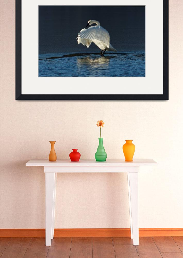 """""""Trumpeter Swan Flapping&quot  (2016) by AriasPhotos"""