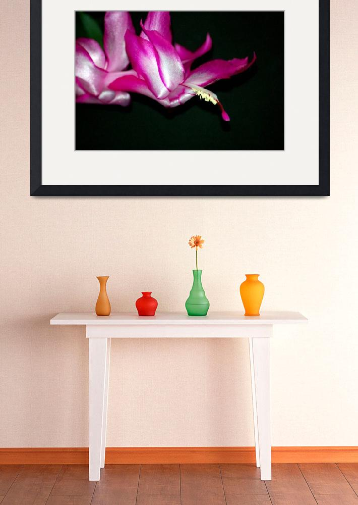 """Christmas Cactus like a Swan in Flight&quot  by travel"