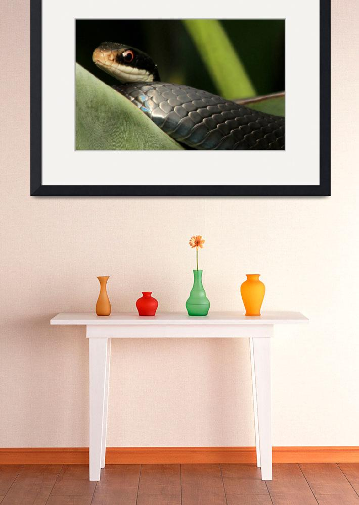 """""""Florida Black Racer&quot  (2012) by rayjacque"""