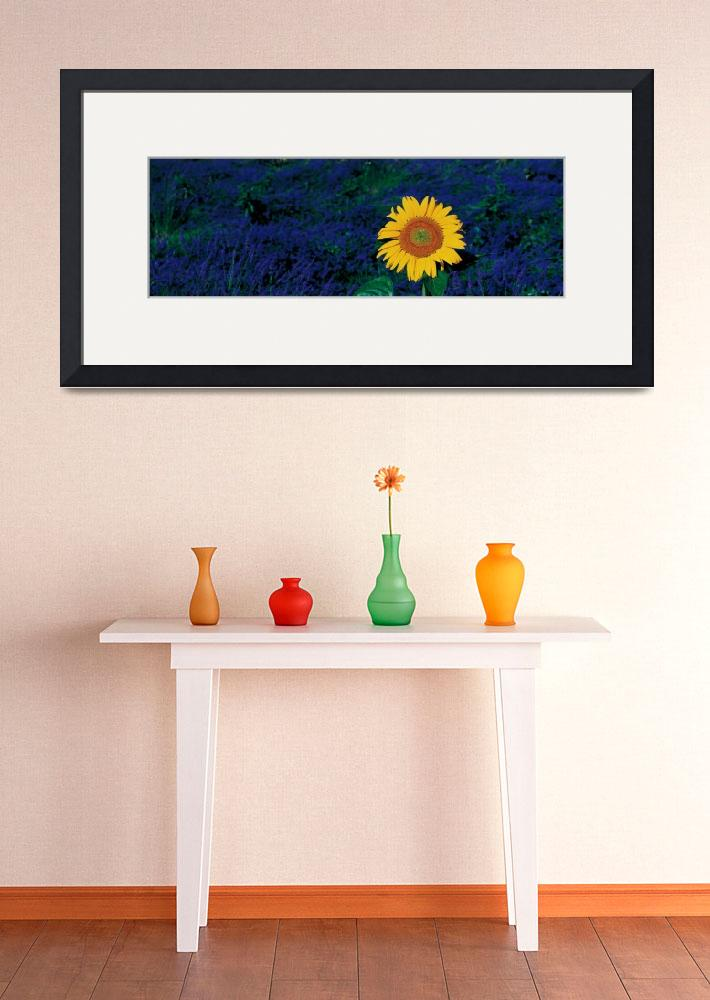 """""""""""France, Provence, Suze La Rouse, sunflower in lav&quot  by Panoramic_Images"""
