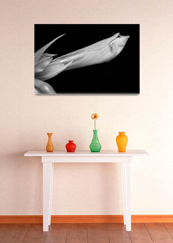 """Amaryllis Flower Bloom in Black and White 2""  (2011) by lightningman"