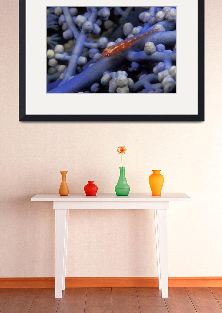 """Triplefin Blenny on Blue Gorgonian Coral - blen22&quot  (2004) by markstrickland"