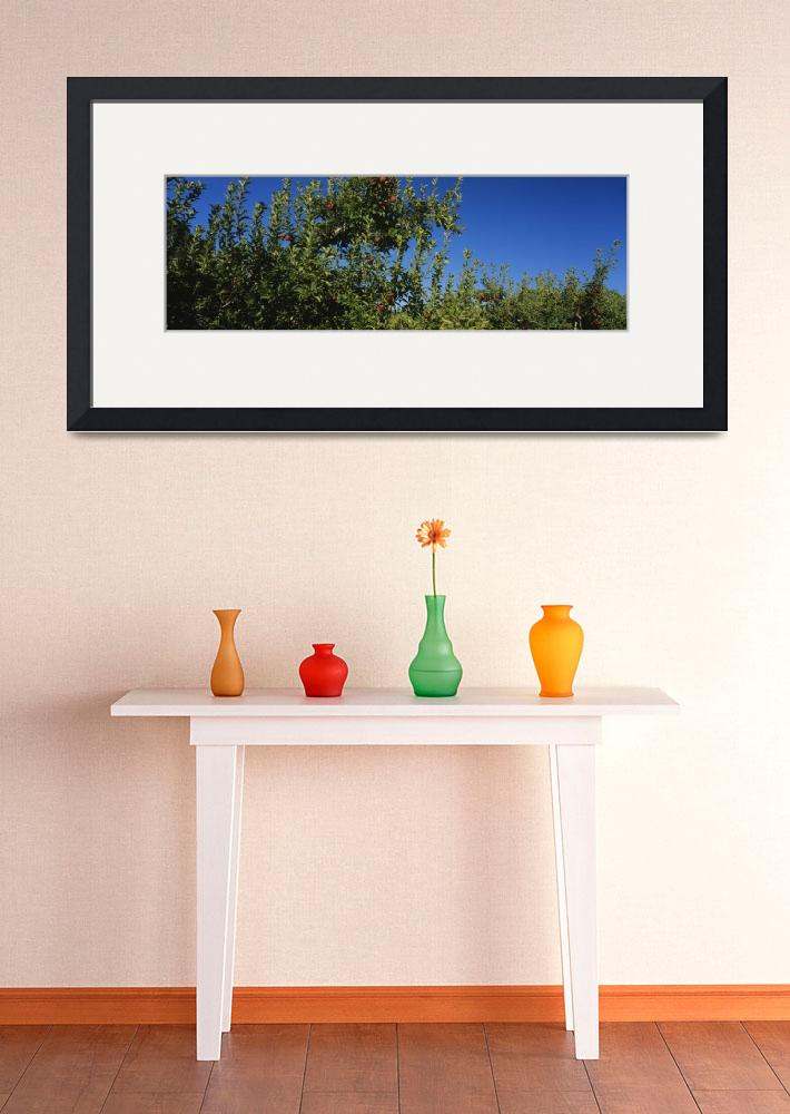 """""""Low angle view of apple trees in an orchard&quot  by Panoramic_Images"""