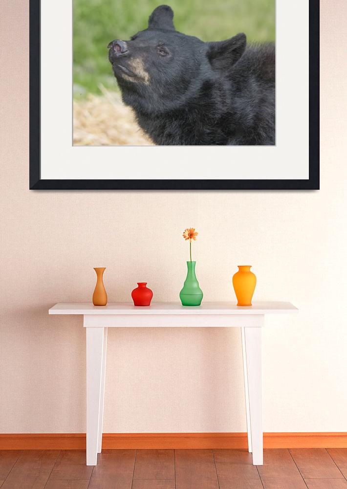 """""""Black Bear Sniffing&quot  (2018) by SederquistPhotography"""