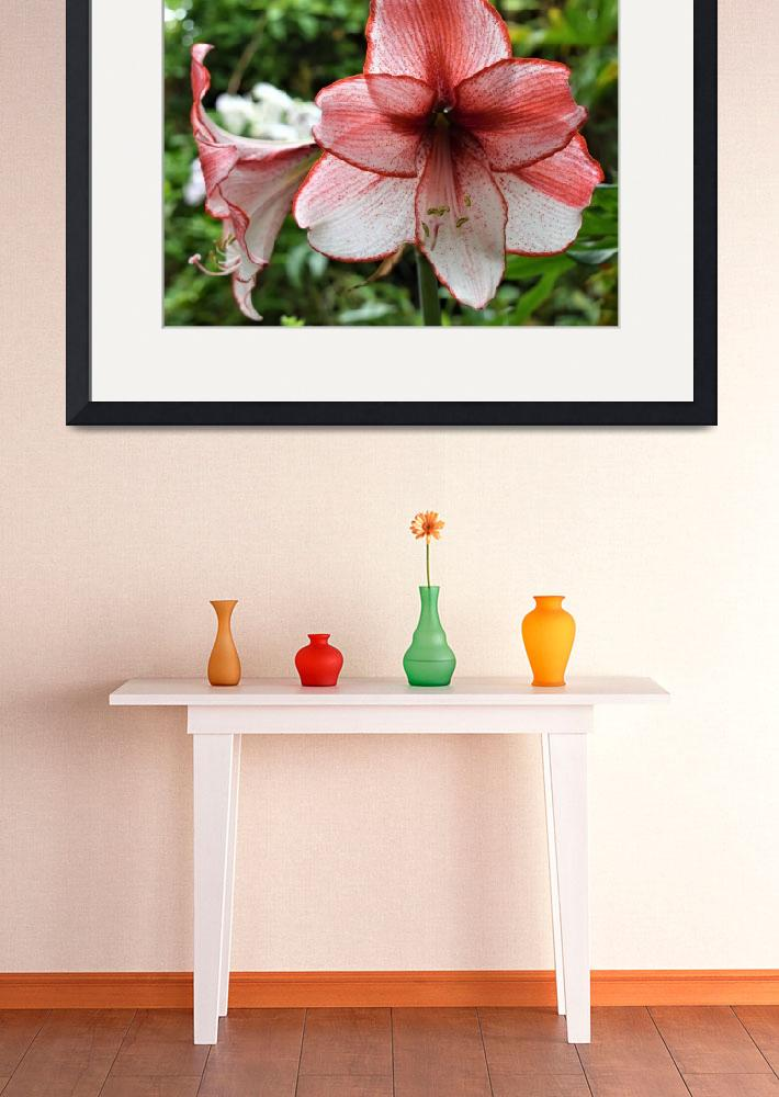 """""""Red and White Amaryllis&quot  (2017) by sharonpattersonsart"""
