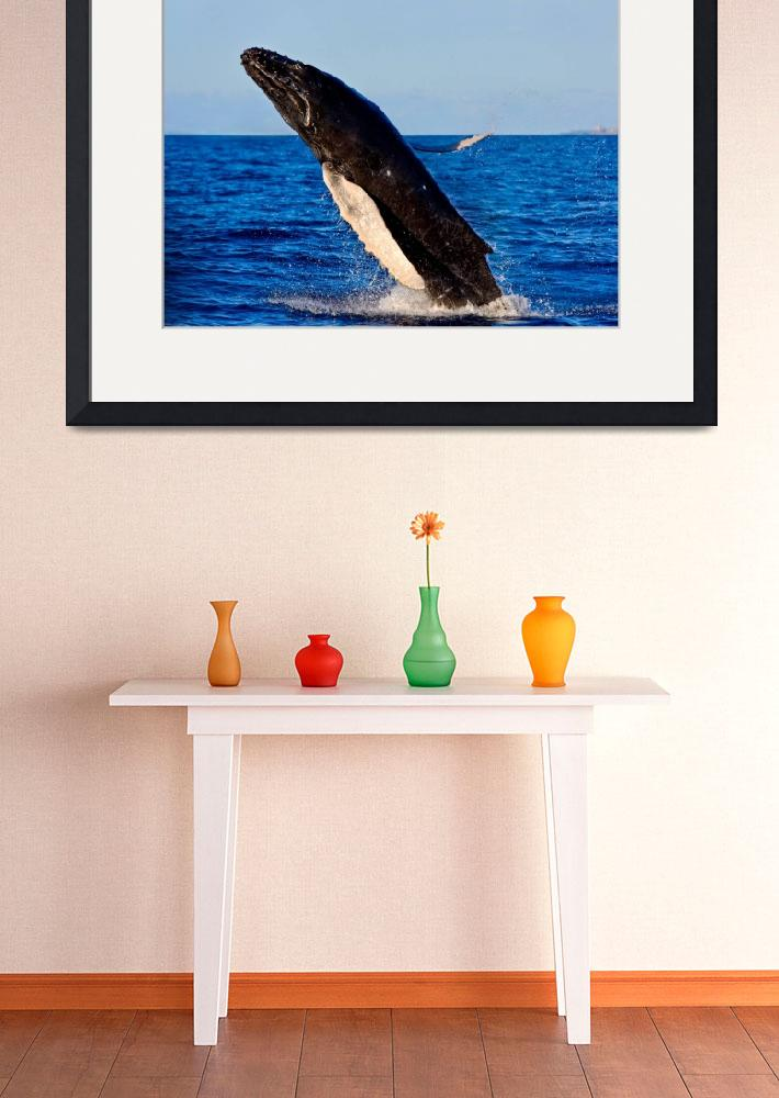 """""""Humpback Whale Breaching out of the water - 15703&quot  (2015) by RJ"""