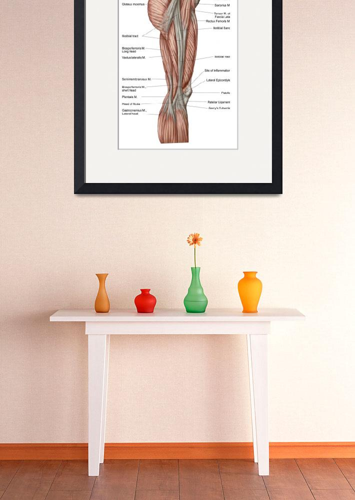 """""""Anatomy of human thigh muscles, anterior view&quot  by stocktrekimages"""