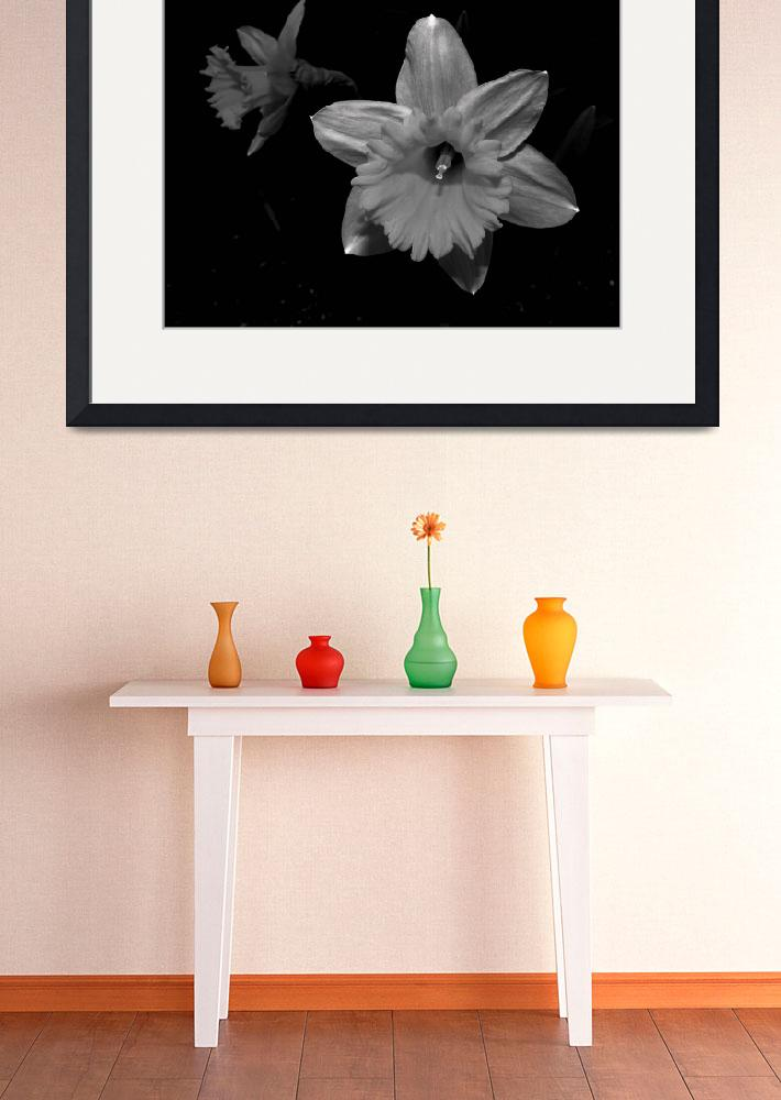 """""""Daffodil in Black and White&quot  (2008) by bavosiphotoart"""