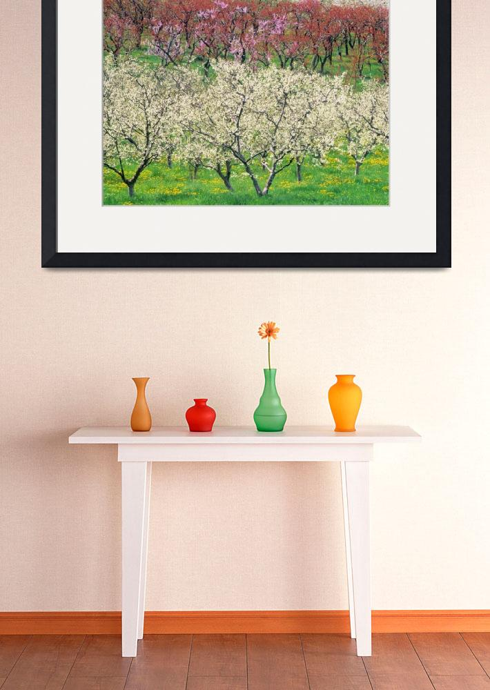 """Orchard, Spring Blooms, Osoyoos, British Columbia,&quot  by DesignPics"