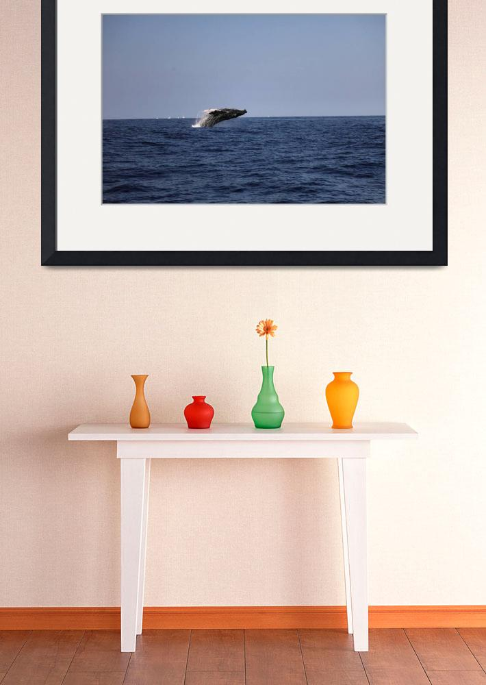 """Humpback whale breaching 2 Hawaii off Kona airport&quot  (2011) by praywaror2"