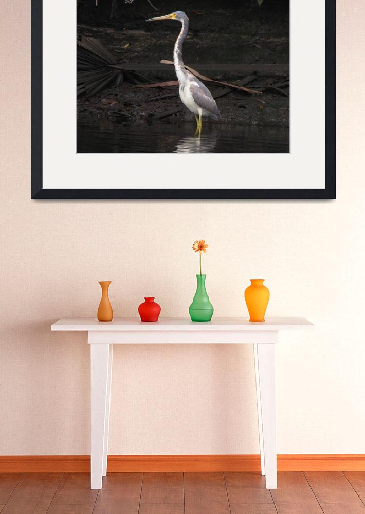 """Portrait of a Tri-colored Heron&quot  by BABowenphotography"