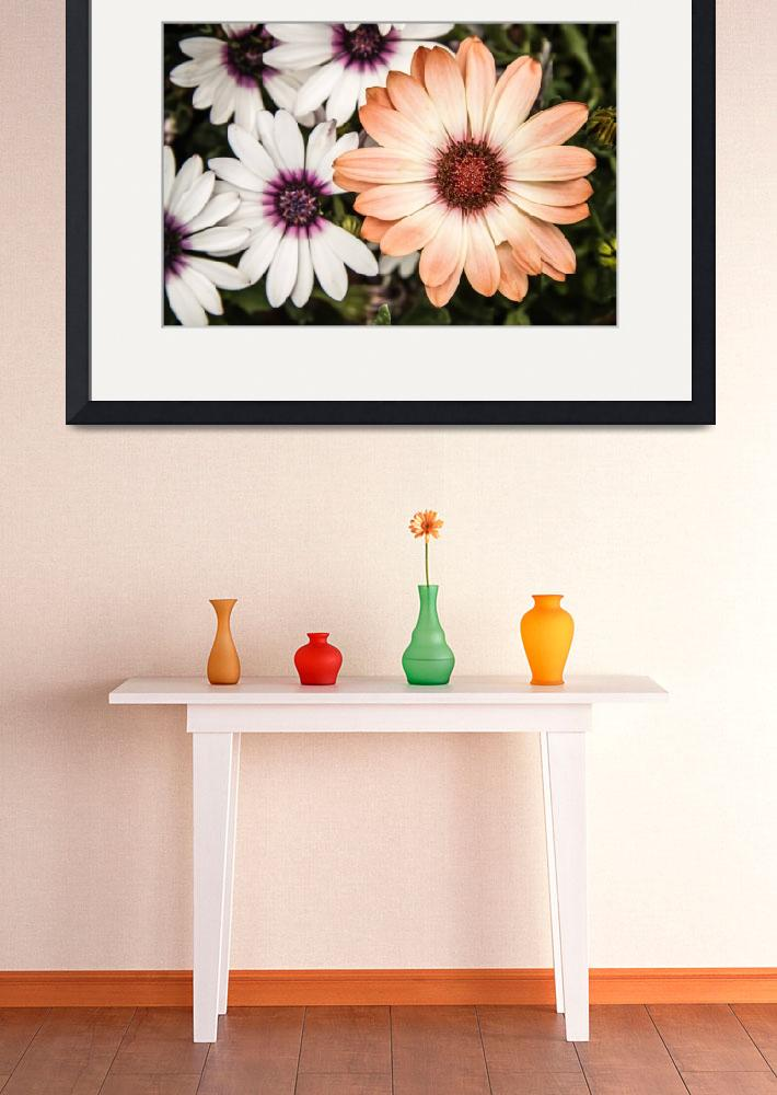 """""""Beautiful colourful African Daisies, Osteospermum,&quot  (2014) by sebnemkoken"""