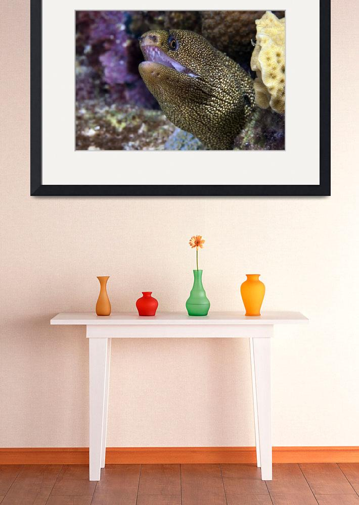 """""""Close-up view of a Goldentail Moray Eel, Bonaire,&quot  by stocktrekimages"""