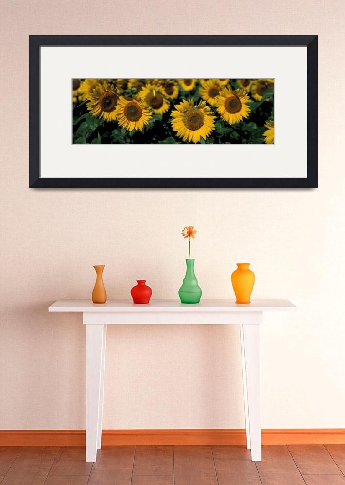 """""""Sunflowers ND&quot  by Panoramic_Images"""