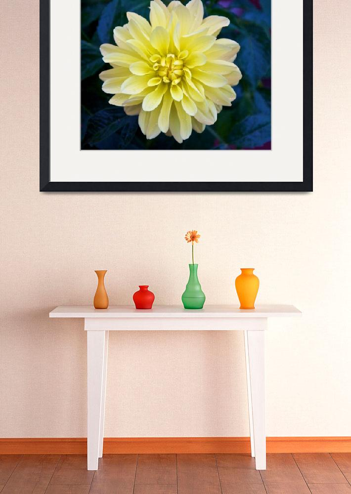 """Yellow Dahlia&quot  (2012) by twostarphotography"