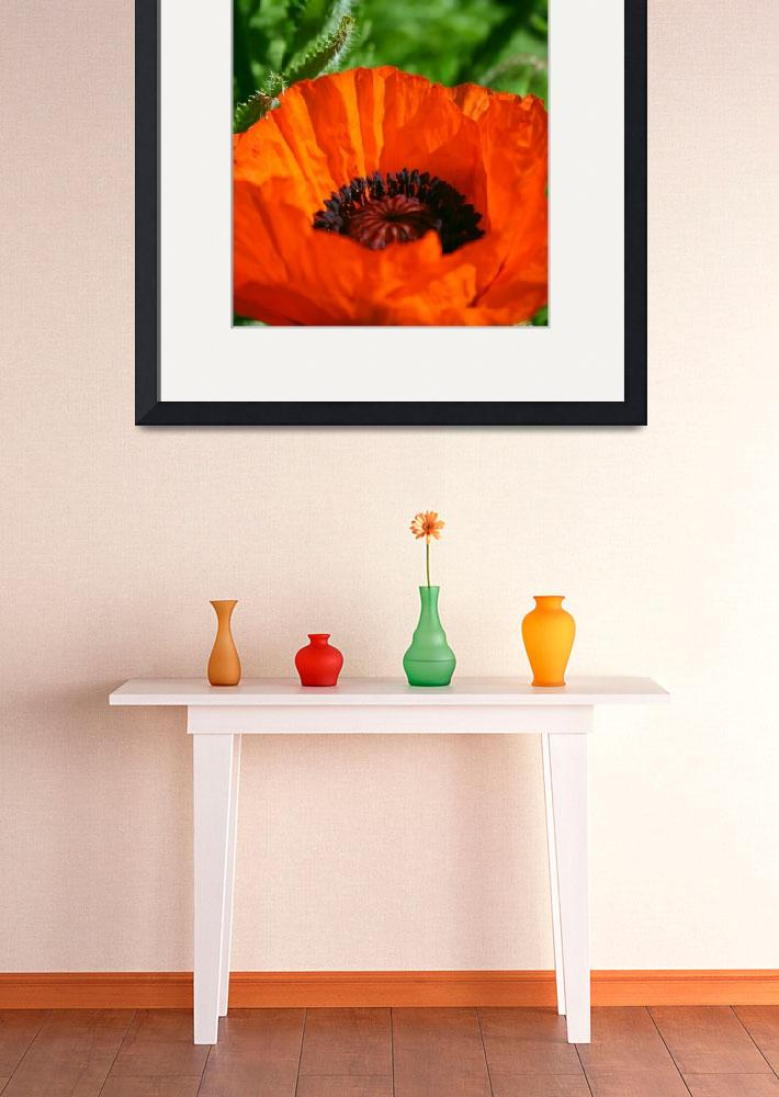 """Oriental Poppy&quot  (2010) by perceptionphotography"
