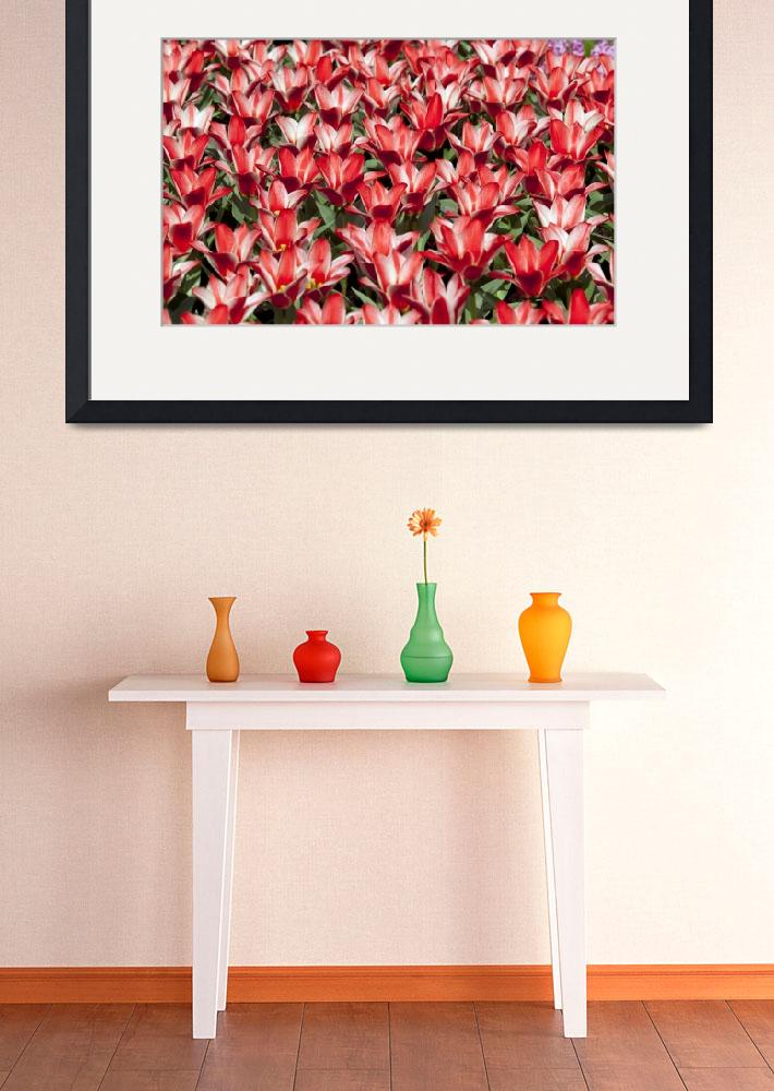 """""""Tulips&quot  (2010) by lillisphotography"""