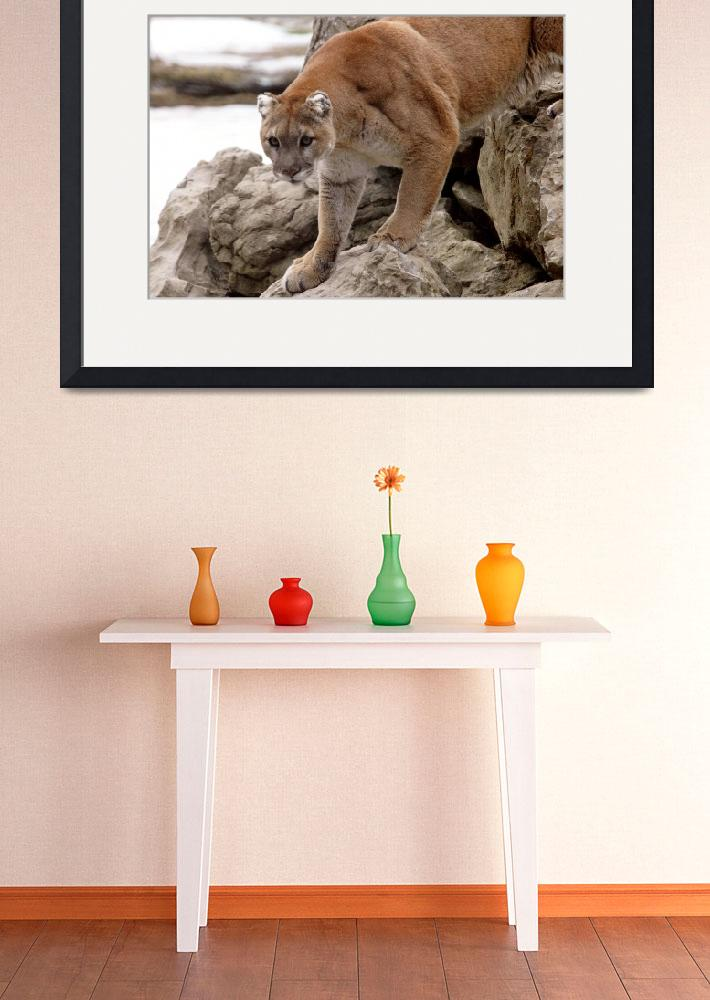 """""""Cougar on rocks""""  (2008) by Donshots"""