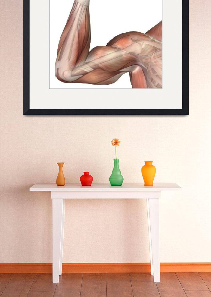 """Illustration of a flexed arm showing human bicep m&quot  by stocktrekimages"