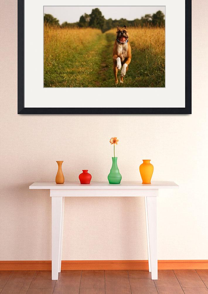 """""""Boxer Dog Running Happily Through Field Photo Prin&quot  (2010) by StephsShoes"""