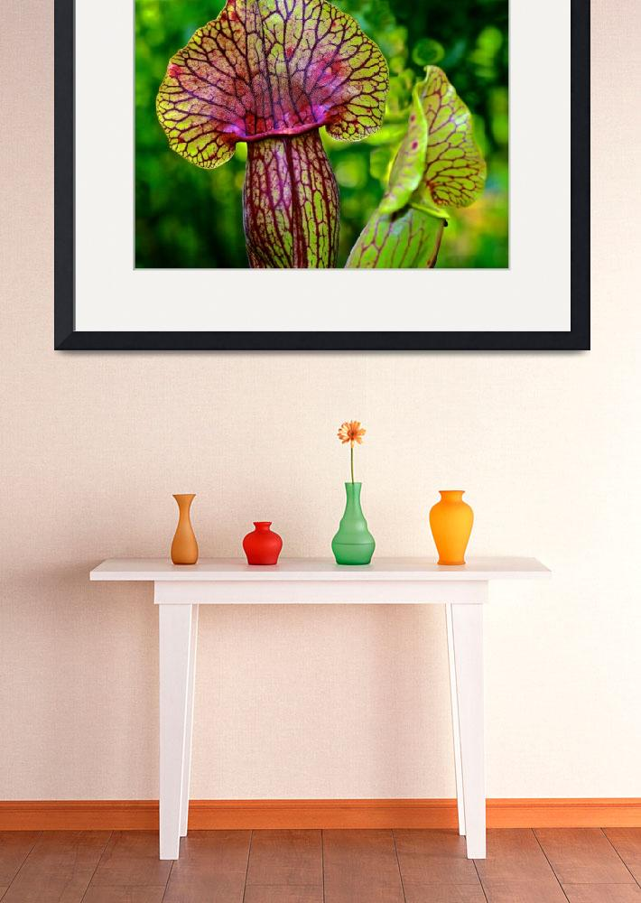 """""""Pitcher Plant""""  (2012) by tomcarrollphotography"""
