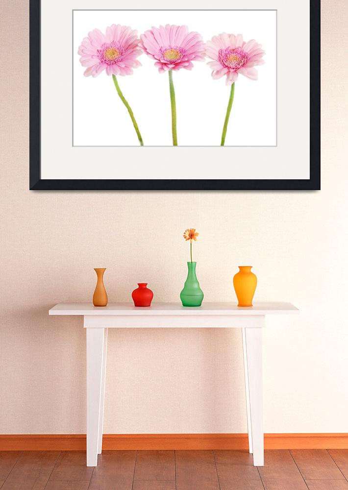 """A bouquet of three pink gerbera flower. Isolated o&quot  by Piotr_Marcinski"