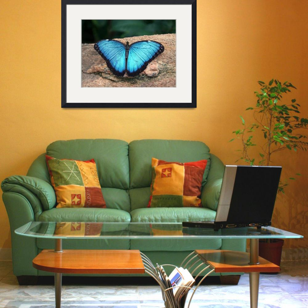 """Blue Morpho Butterfly&quot  (2009) by daisyjoan"