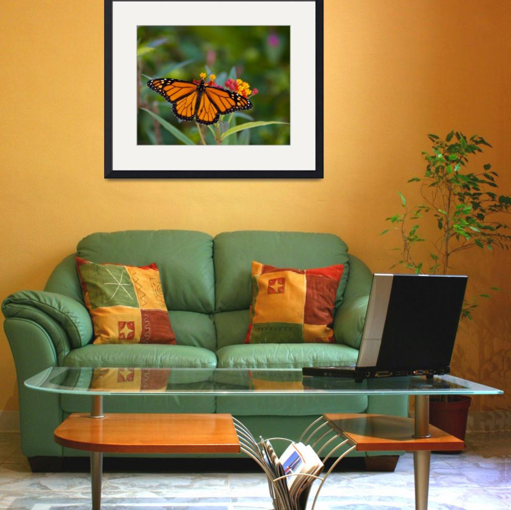 """""""Monarch and Milkweed&quot  (2008) by NjordPhotography"""