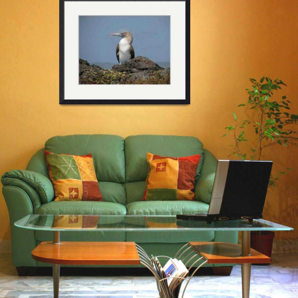 """""""Blue-footed Booby&quot  (2009) by Natural_Imagery"""
