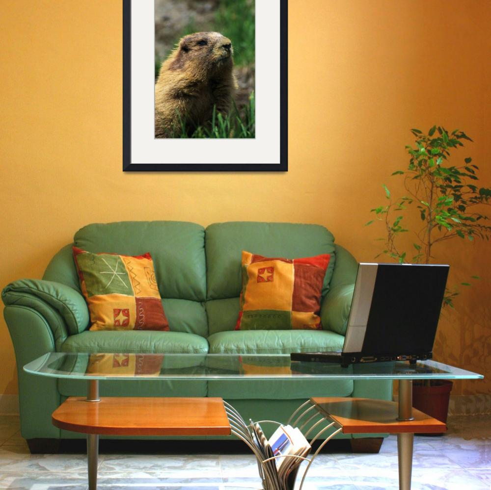 """Olympic Marmot (Marmota Olympus)&quot  by Panoramic_Images"