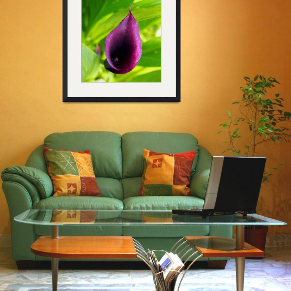 """""""Plum Purple Calla Lilly in the Garden&quot  (2013) by scubagirlamy"""