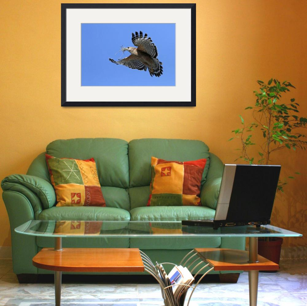 """""""Red-shouldered Hawk (Buteo Lineatus)&quot  (2009) by sandrino"""