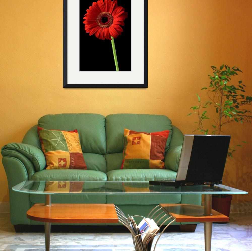 """""""Red gerber daisy flower on black background&quot  by Morganhowarth"""