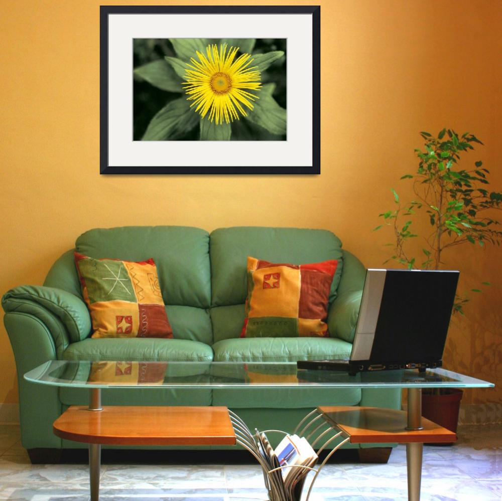 """Large-Flowered Inula&quot  by fineartmasters"