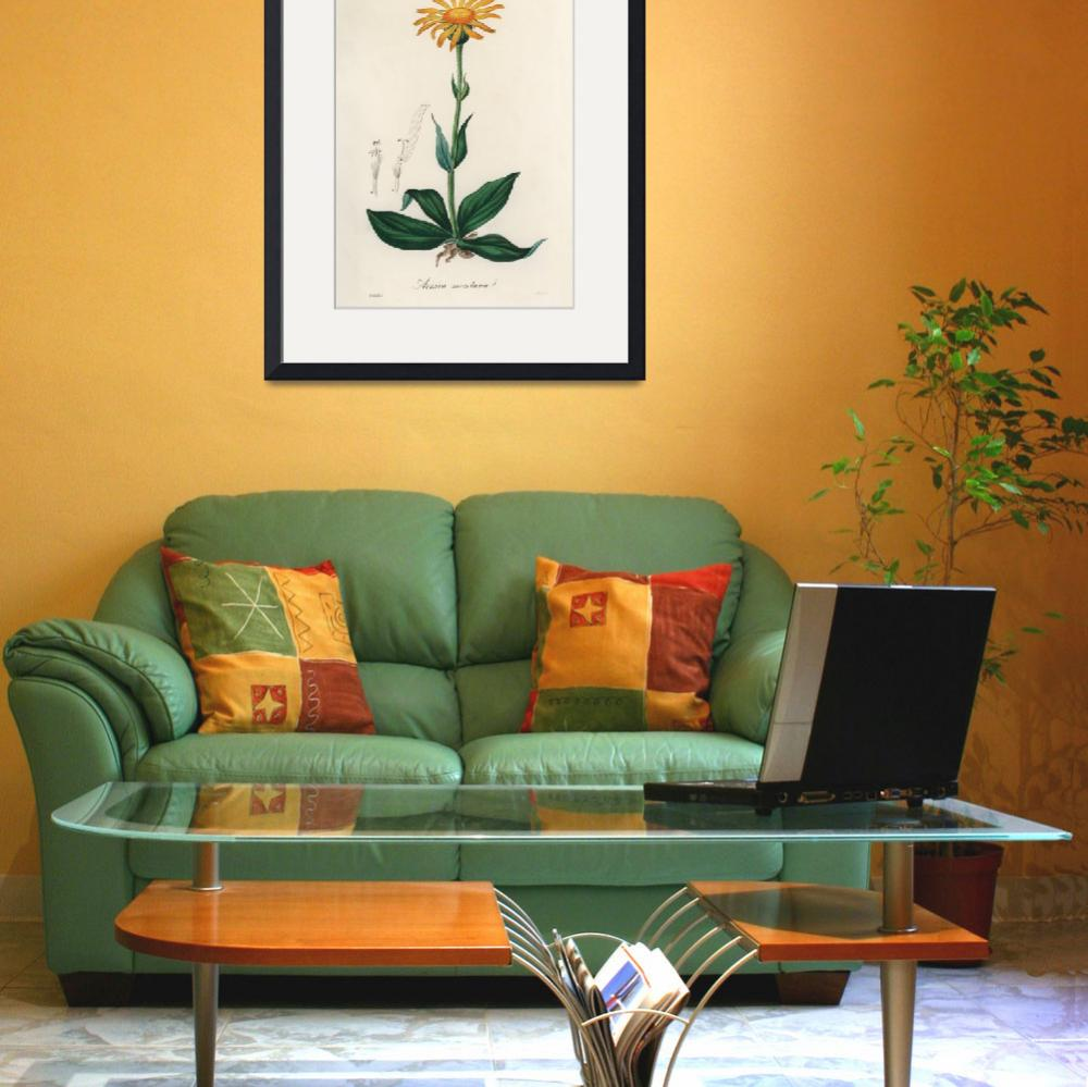 """""""Vintage Botanical Mountain arnica""""  by FineArtClassics"""